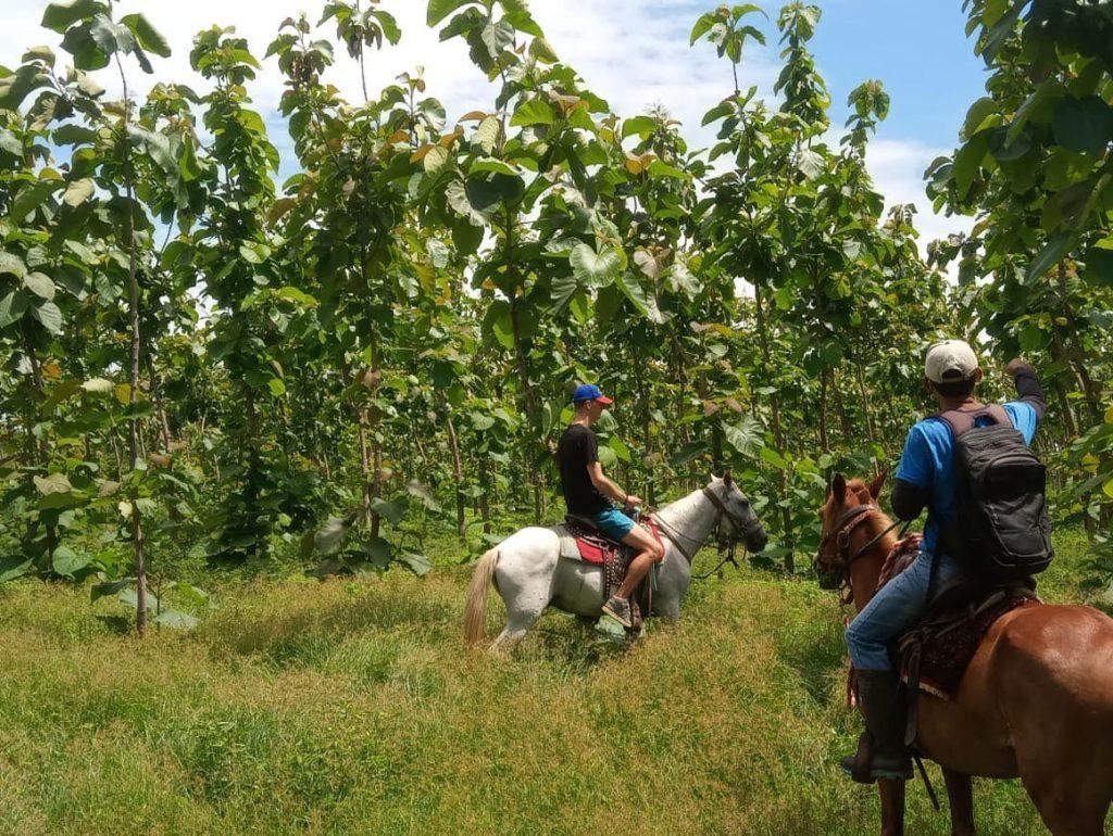 investing teak wood plantation
